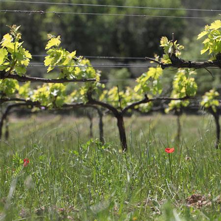 pieds de vignes en Provence